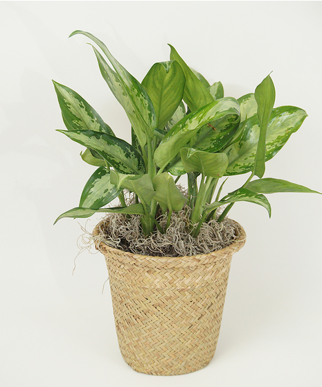 6 Inch Chinese Evergreen