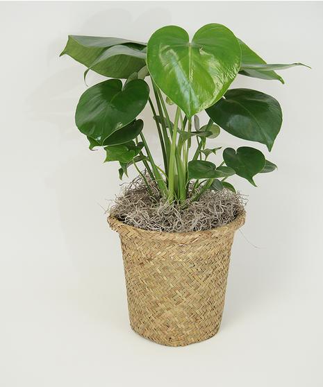 6 Inch Split Leaf Philodendron