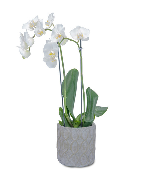 White Elegance Orchid