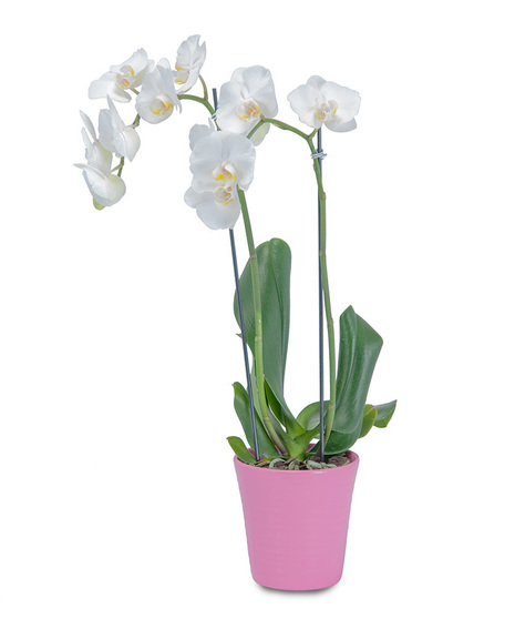 White Elegance Orchid in Pink